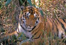 Indian Tiger 2 DM0233