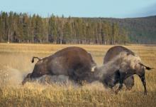 Bison Fighting DM0299